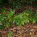 Tacca palmata, Cairns Botanic Garden, Cairns, QLD, 07/07/12