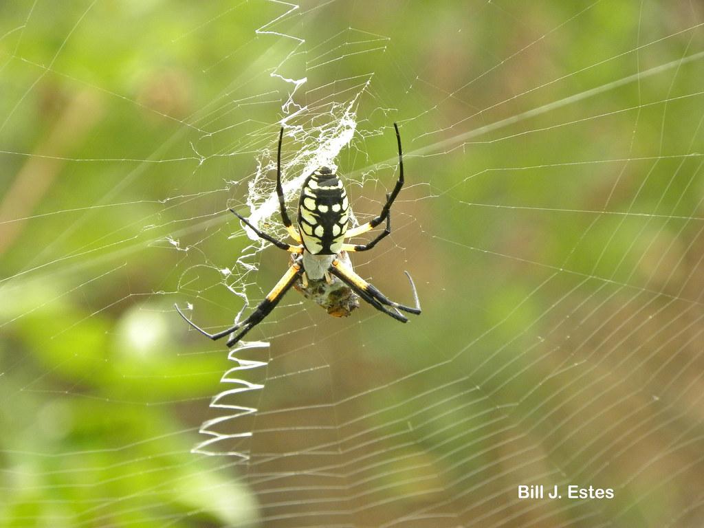 Black And Yellow Garden Spider Argiope Aurantia Eastern Flickr
