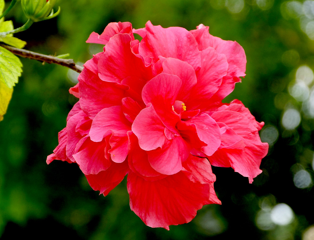 Hibiscus rosa sinensis nombre com n rosa de china flickr for Hibiscus rosa sinensis