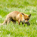 Fox with some unfortunate rodent