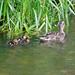Eynsford ducks