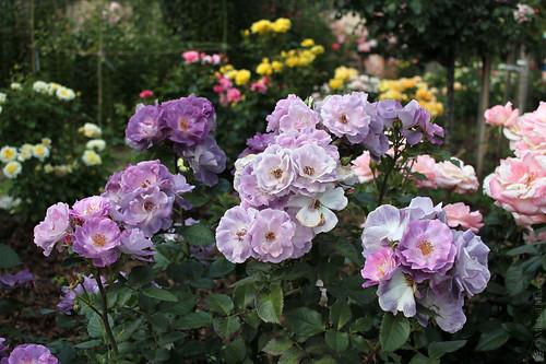 Rose 'Blue for You', (Fryer's Roses, 2007), Floribunda