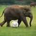 Football Crazy Elephant...