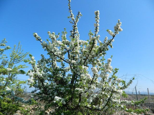 Pirus amygdaliformis flickr photo sharing for Pirus pianta