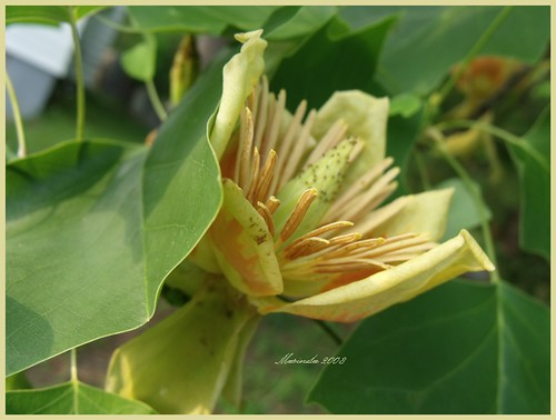 Tulip tree Blossom | by marinela 2008