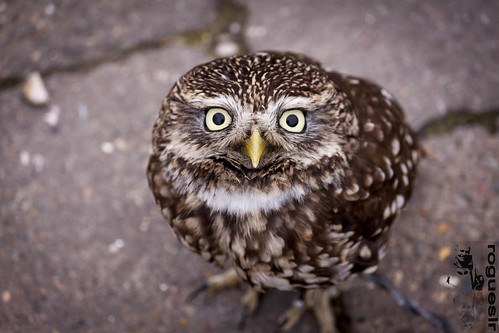 A very Little Owl | by rogueslr