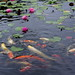 Water Lily and Carp