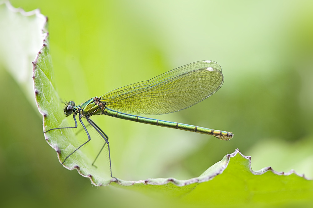 Female Banded Demoiselle by Jacky Parker