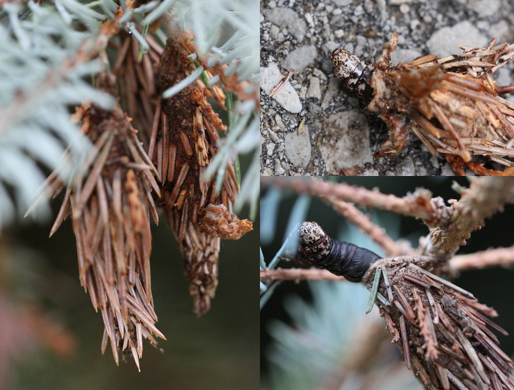 Evergreen Bagworm | The female bagworm lives its entire ... | 1024 x 777 jpeg 244kB