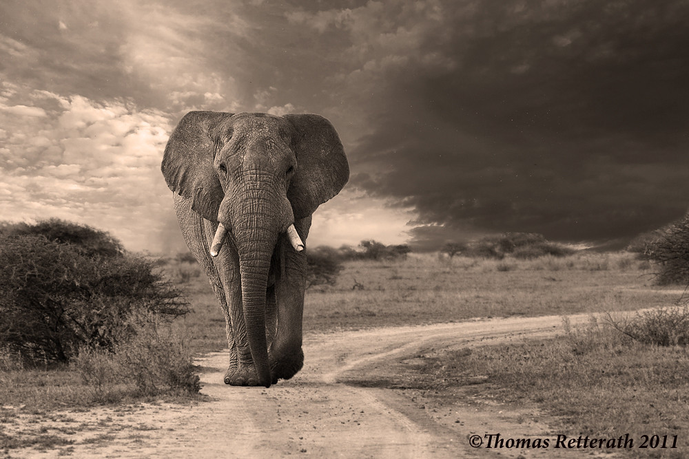 Sepia Elephant Nxai Pan I Played With My Previously