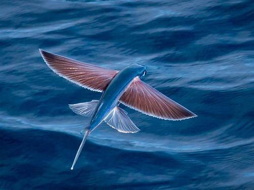 Flying fish, spotted enroute to Angola | by Lindblad Expeditions-National Geographic