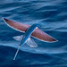 Flying fish, spotted enroute to Angola