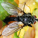 Mosca // Tachinid Fly (Zeuxia zernyi), male
