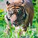 Approaching Sumatran tiger
