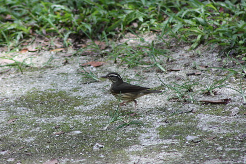 LouisianaWaterthrush4603 | by dixieredhat - dixie county florida