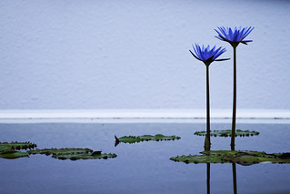 waterlily composition | by * Yumi *