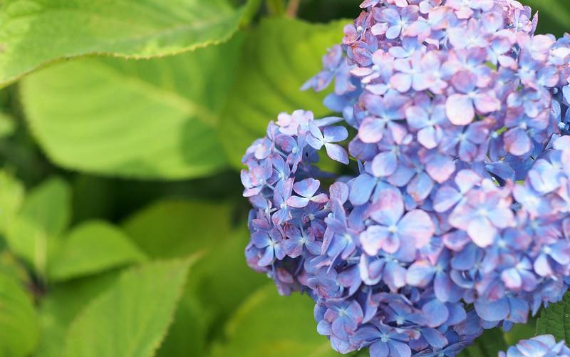 紫陽花。OM-D E-M5 + F.Zuiko 38mm F1.8