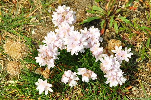 Botanischer Spaziergang am Atlantik (Bretagne) - Wildpflanzen in Küstennähe - hier: Strandnelke (Armeria maritima) - Foto: Brigitte Stolle 2016