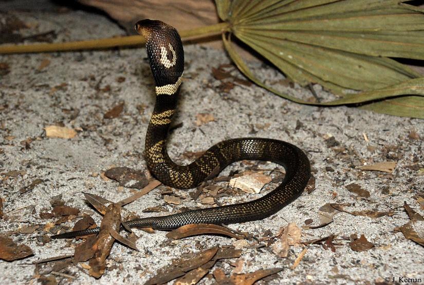 Monocled Cobra - Naja kaouthia | HGHjim | FlickrNaja Kaouthia