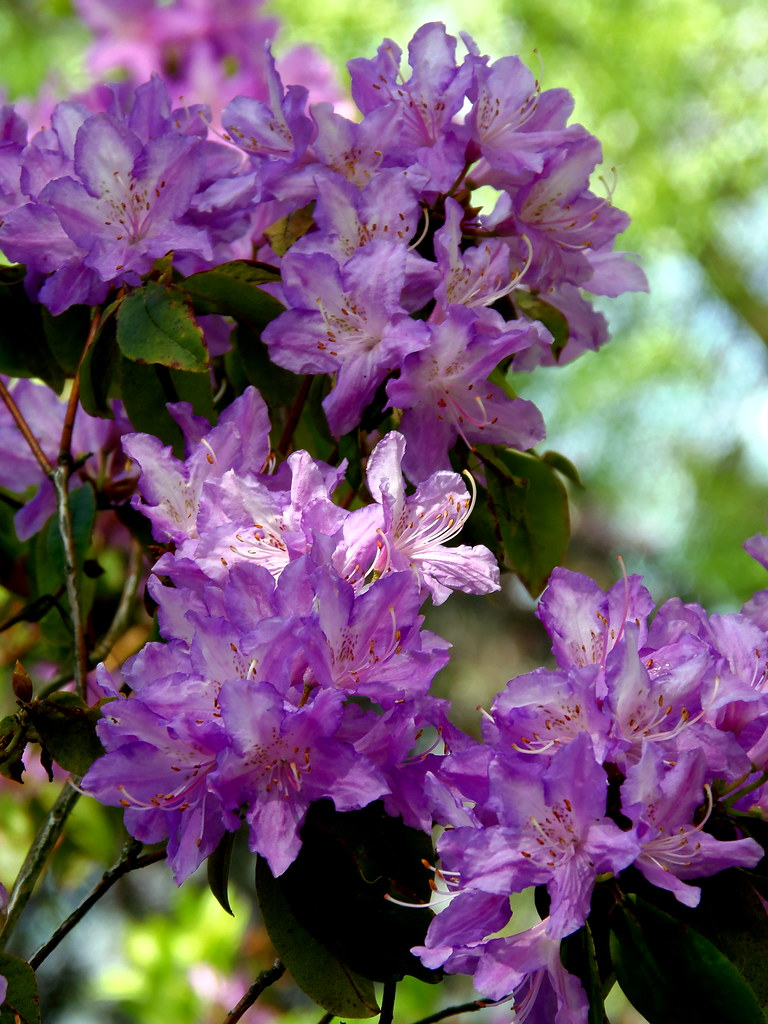purple rhododendron    happy thursday flower
