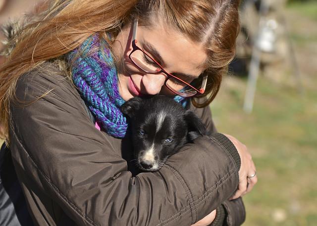 Cachorritos de alaskano que en el futuro serán perros guía para trineos de perros