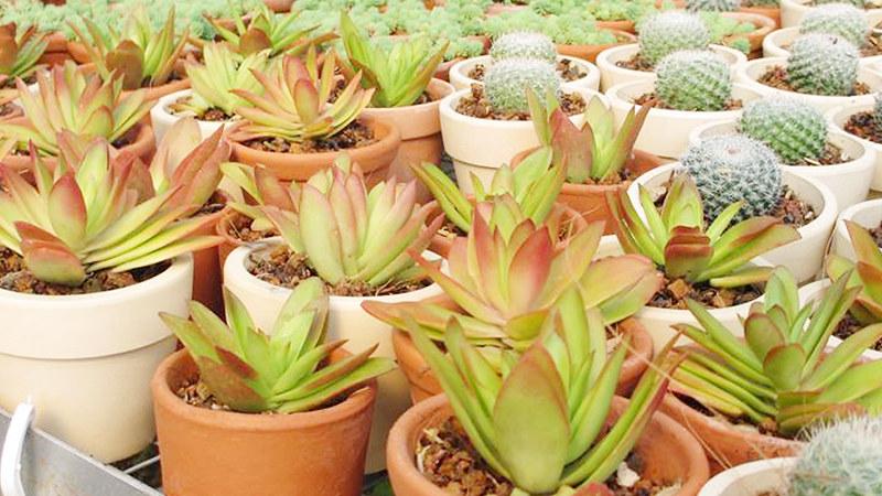 caysenda.com | sen da | xuong rong | tieu canh sen da | art plant | terrarium | sen tu phuong