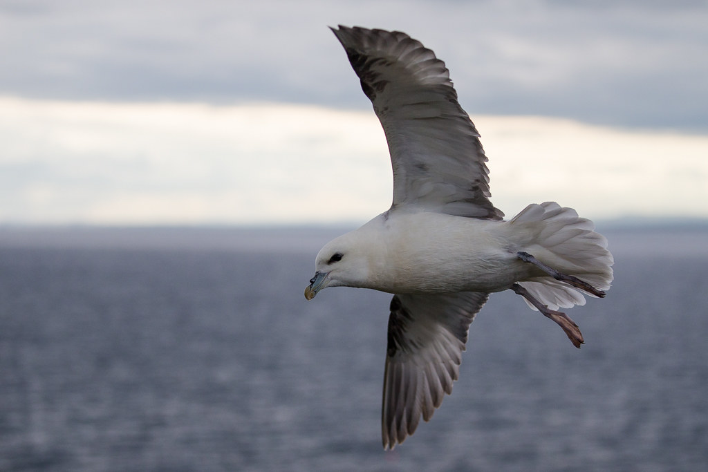 Fulmar   Isle of May, Scotland 2016