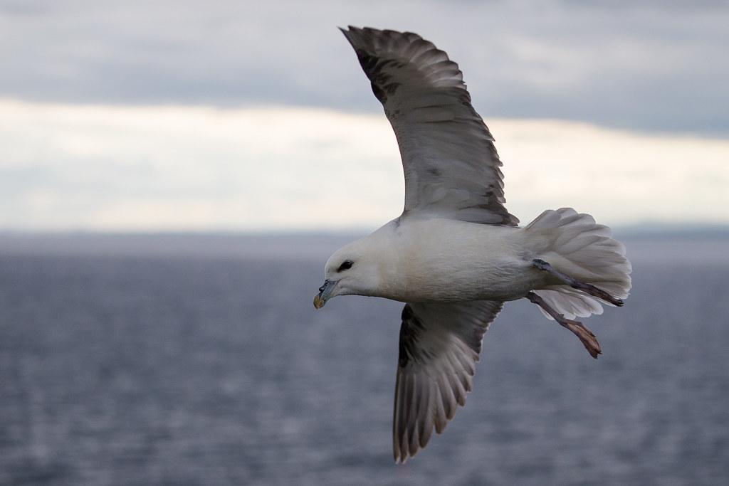 Fulmar  Isle of May, Scotland 2016