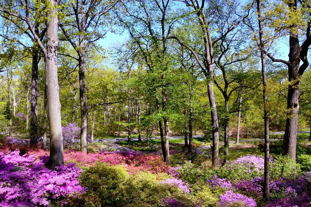 The Azalea Forest In The New York Botanical Garden Eddie Crimmins Flickr