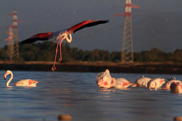 flying flamingoes ii by - photo #26