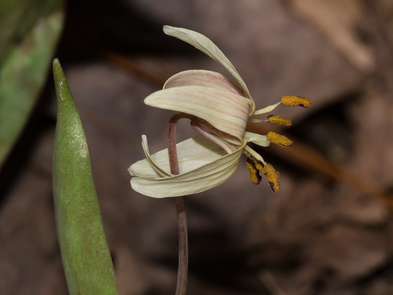 Mutant color form of Dimpled Trout Lily