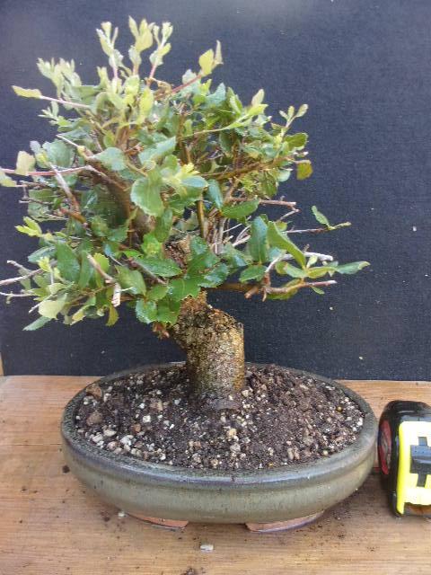 Bonsai quercia da sughero h 30 cm visita il negozio ebay for Bonsai da esterno