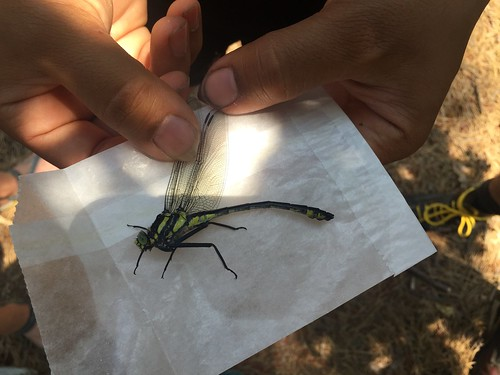 A large dragonfly held on a glassine envelope.