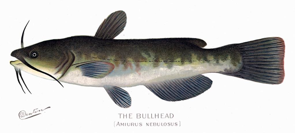 Bullhead2 bullhead fish nys dec flickr for Nys dec fishing