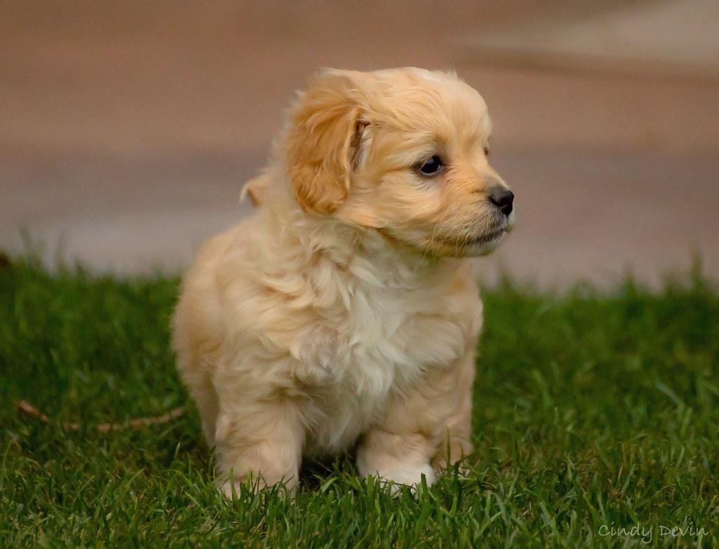 Cockapoo Dogs For Sale Dorset