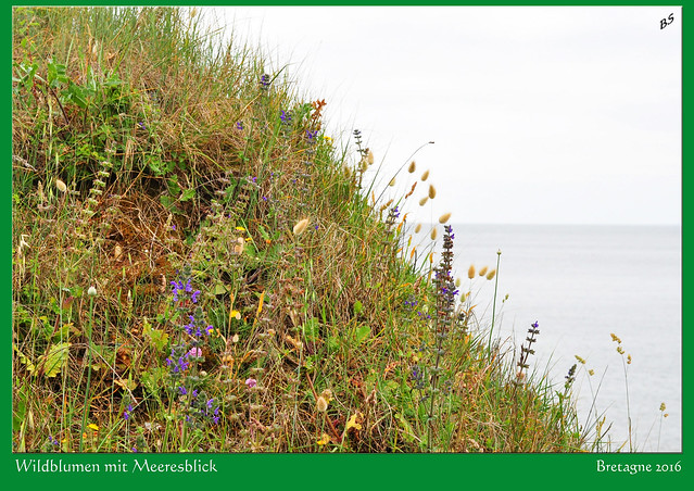 Bretagne - Atlantik - Wildblumen mit Meeresblick - Foto: Brigitte Stolle 2016