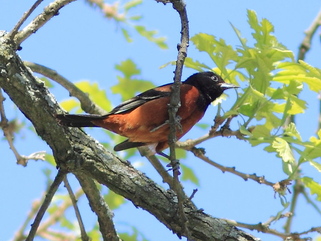 Orchard Oriole 2-20130514