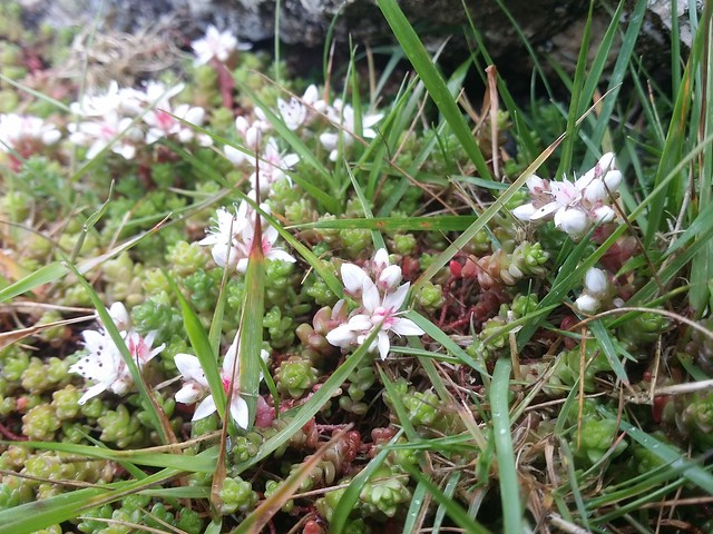 Alpine wild flowers on Shovel Stone, Dartmoor