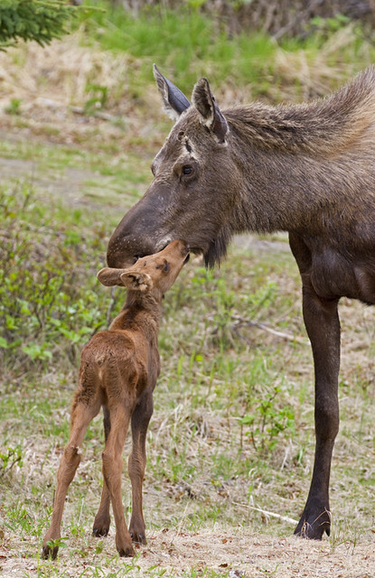 Cute moose calf - photo#21