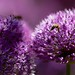 Bee on purple flower 4