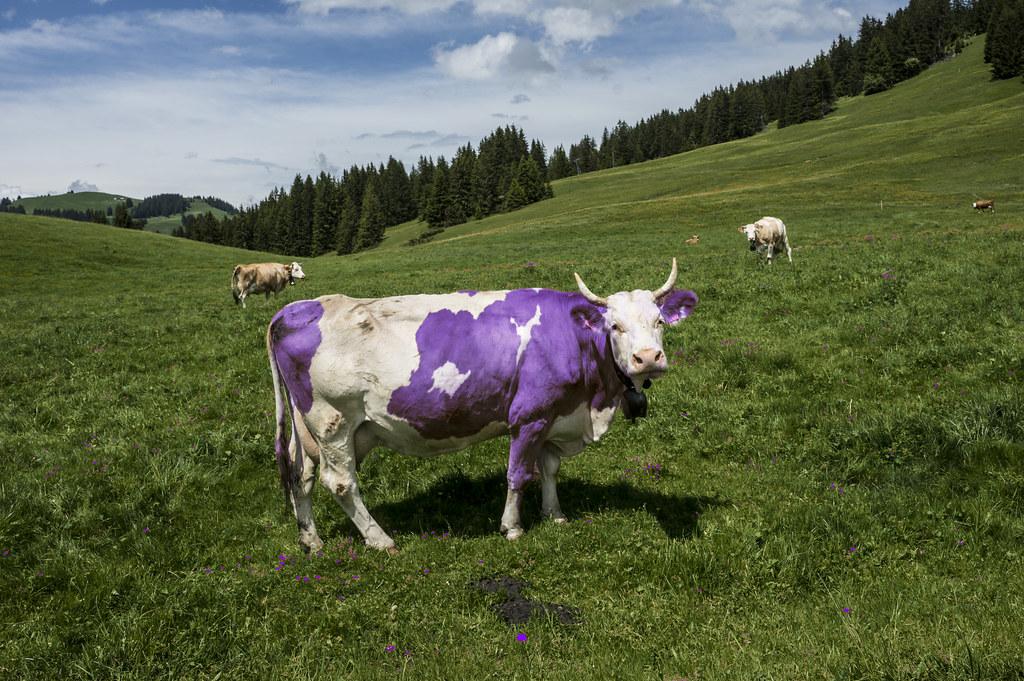Znalezione obrazy dla zapytania milka cow
