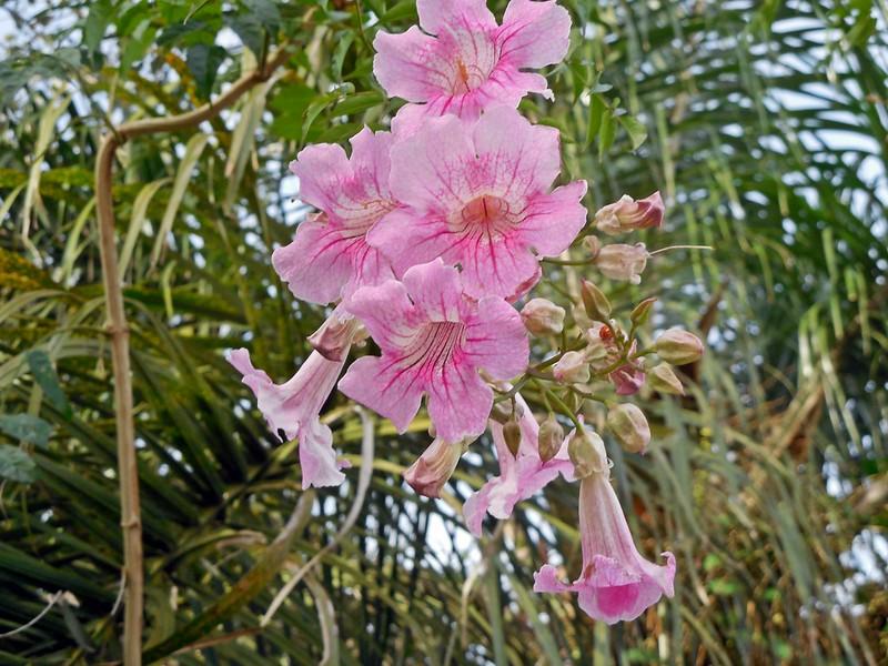 bignonia rosada