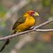 Saffron Toucanet - Brazilian Birds - Species # 124