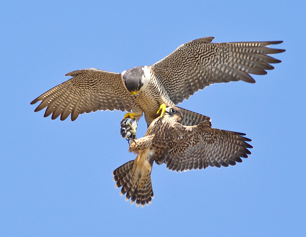 peregrine falcon adult juvenile food exchange deedee gollwitzer flickr. Black Bedroom Furniture Sets. Home Design Ideas