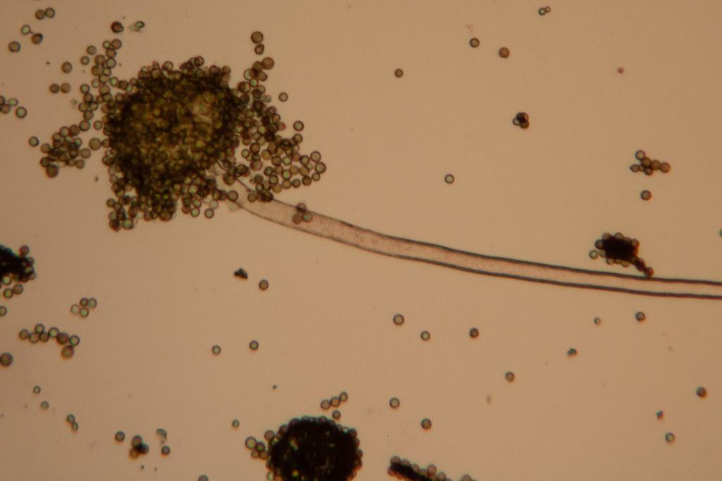 Aflatoxin 1 | A. flavus is a soil-borne fungus that ...