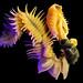 Chaetopterus cautus