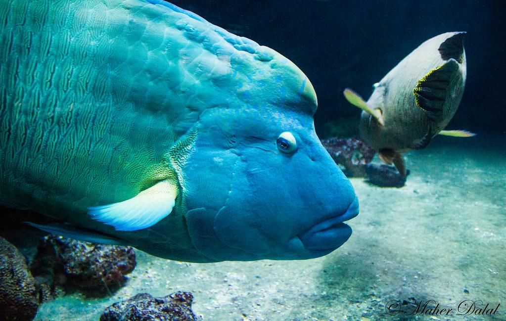 Napoleon Fish The Big Blue Napoleon Fish In Koh Samui