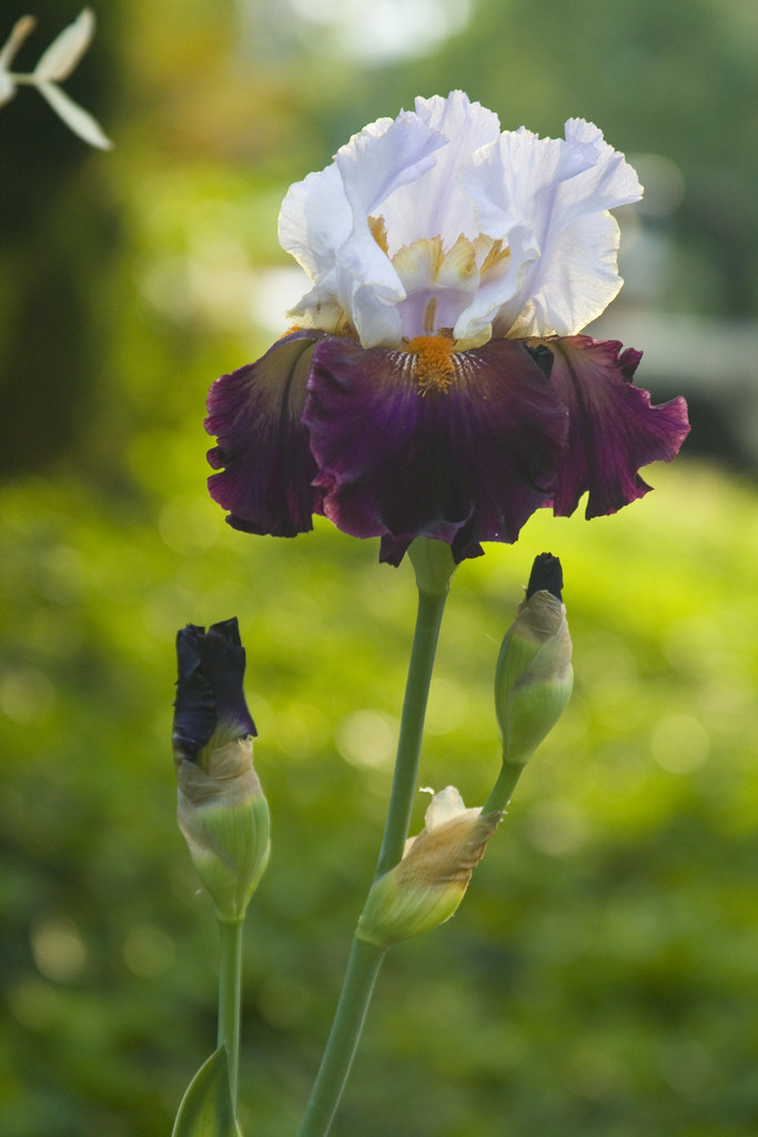 bicolor iris - photo #45