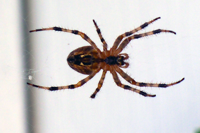 Barn Spider On Our Home Flickr Photo Sharing