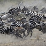 Zebras running in the Serengeti